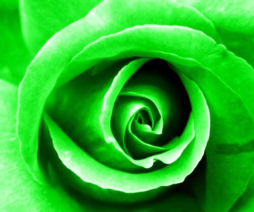 green-chakra-rose